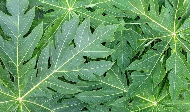 パパイヤの葉の表面