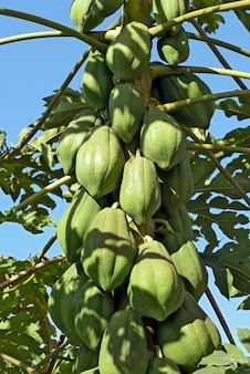 Papaya tree closeup with unripe fruits