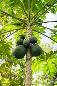 파파야 나무, 스리랑카