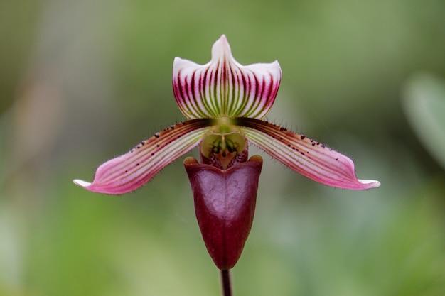 Цветок орхидеи paphiopedilum callosum