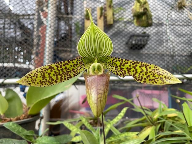 Цветок орхидеи paphiopedilum sukhakulii