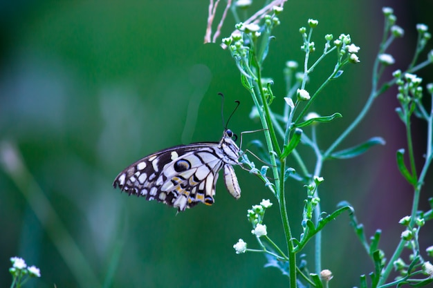 Papilio butterfly or common lime butterfly or chequered swallowtail resting on  the flower plants