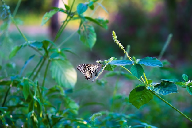 Papilio butterfly or the common lime butterfly resting on the flower plants
