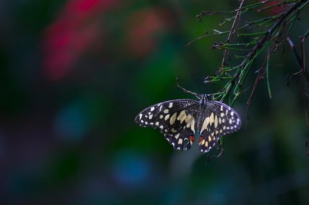花植物の上で休むパピリオ蝶または一般的なライムバタフライまたは市松模様のアゲハチョウ