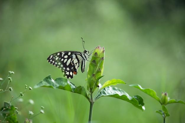 自然環境の中で花植物の上に座っているアゲハチョウまたは一般的なライムバタフライ