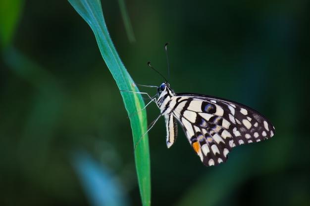 自然の生息地で花の植物の上で休んでいるアゲハチョウまたは一般的なライムバタフライ
