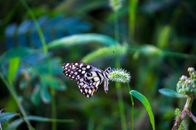 アゲハチョウまたは花の植物で休む一般的なライムバタフライ