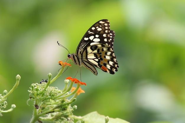 小さな花から蜜を食べるアゲハカラフルな蝶
