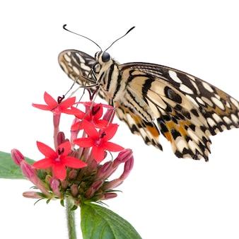 Бабочка бабочка демона на белом