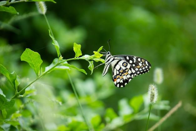 Papilio demoleusは、植物の上で休む一般的で広く普及しているアゲハチョウです。