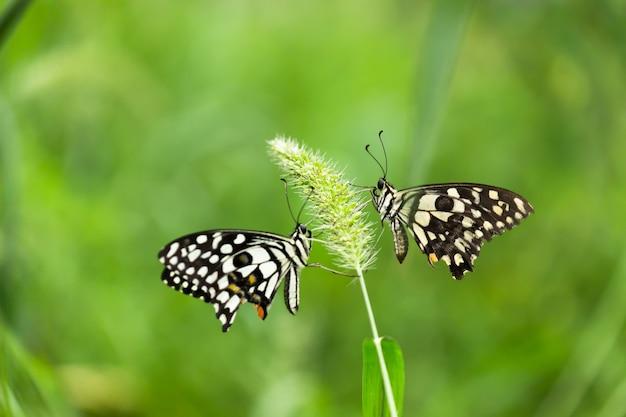 Papilio demoleus는 일반적인 라임 나비이며 널리 퍼진 페타 이미지입니다.