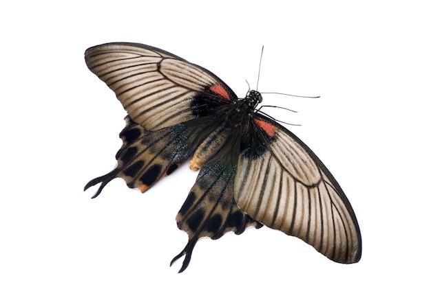 Бабочка papilio lowii на белом изолированные
