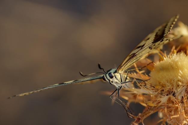 Бабочка papilio machaon в естественной среде обитания