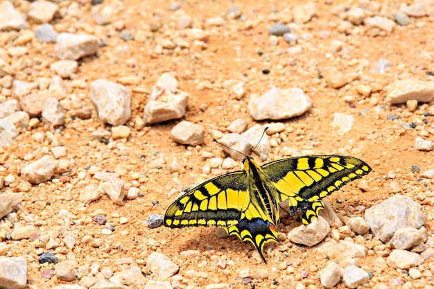 모래에 papilio machaon 나비