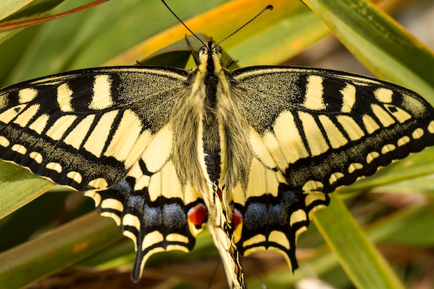 美しいツバメ(papilio machaon)蝶の昆虫の眺めを閉じます。