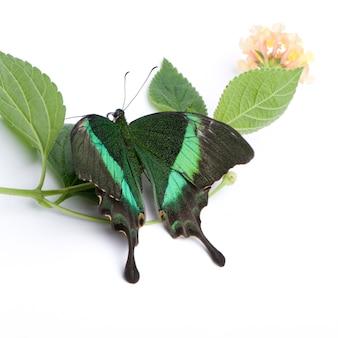 Бабочка papilio palinurus в на белом изолированные