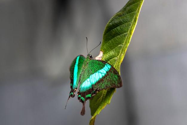 緑の葉のoudoorsに座っているpapiliopalinurus大きな緑の蝶