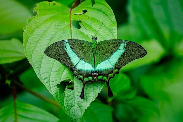 自然の中で、縞模様の孔雀(papilio palinurus)