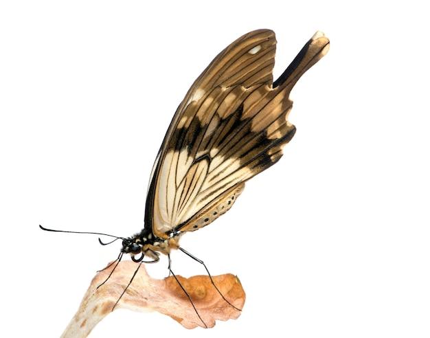 Papilio - papilio dardanos в на белом изолированные