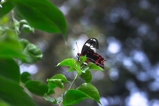Papilio polytes also known as the common mormon resting on the flower plant