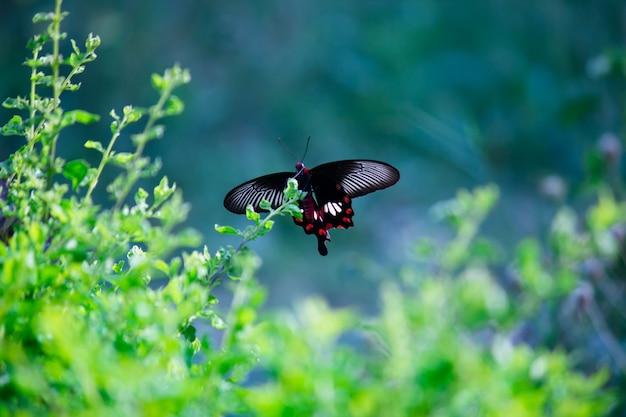 シロオビアゲハとしても知られるアゲハチョウは、公共公園の花植物を食べます。
