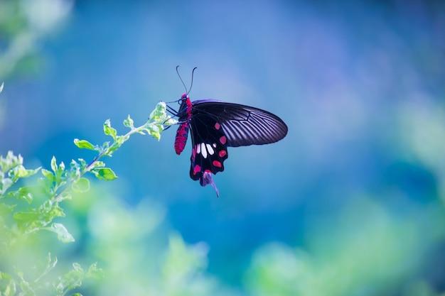 公共公園で花を食べるシロオビアゲハとしても知られるアゲハチョウ Premium写真