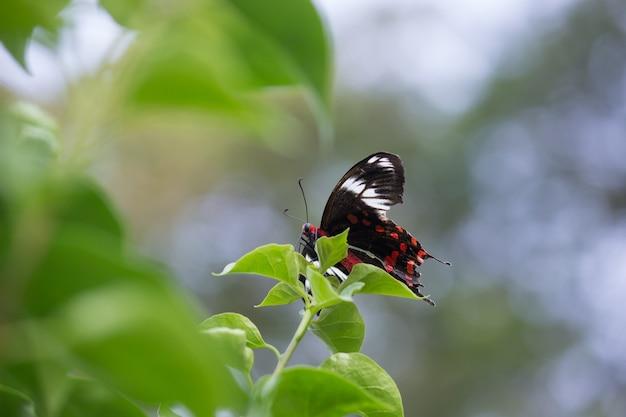 公共公園で花を食べるシロオビアゲハとしても知られるアゲハチョウ