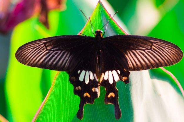 シロオビアゲハとしても知られるアゲハチョウは、公共の公園で花の植物を食べます