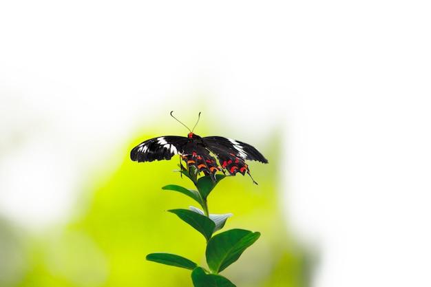 花植物を食べているシロオビアゲハとしても知られているアゲハチョウ