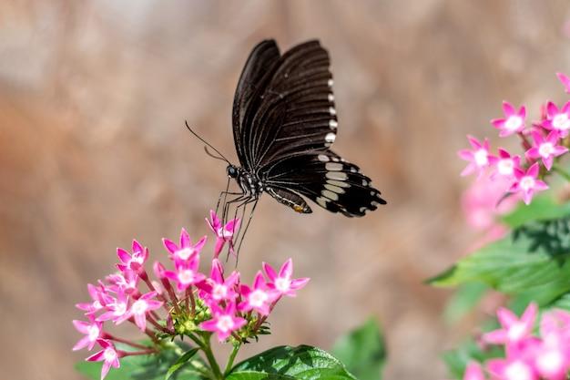 Papilio polytes 또는 꽃에 일반적인 모르몬 검은 나비