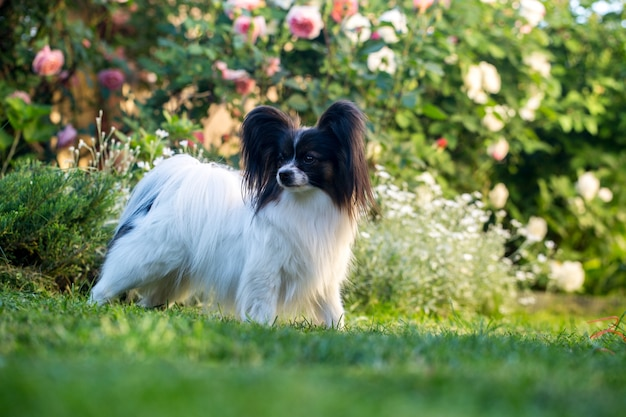 Papillion щенок в саду фоне