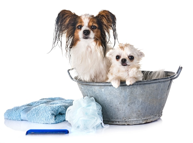 Papillon, chihuahua and bath