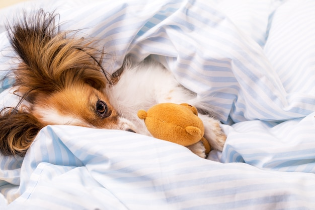 Papillon dog in bed with a bear