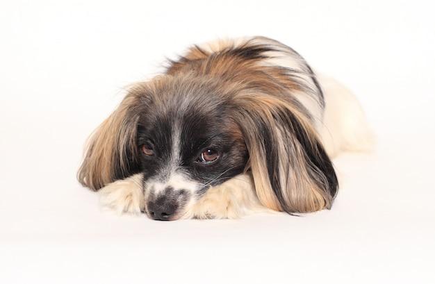 Papillon dog close-up portrait on a white