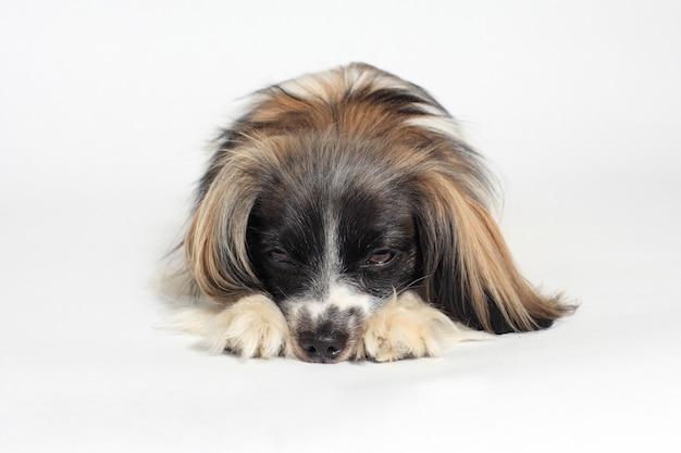 Papillon dog close-up portrait