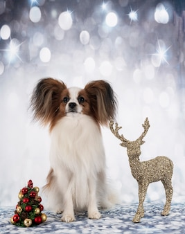 Papillon dog in front of christmas background