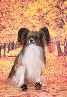 Папийон собака перед осенним парком