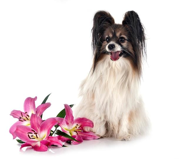 Папийон собака на белом фоне
