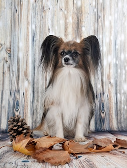 Собака papillon перед деревянным фоном