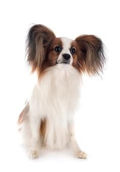Папийон собака, изолированные на белом фоне