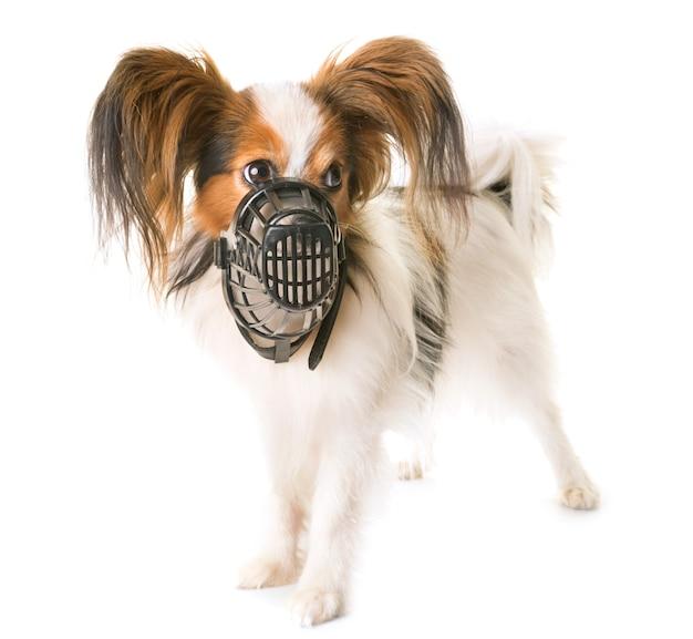 Papillon dog and muzzle
