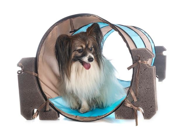 パピヨン犬
