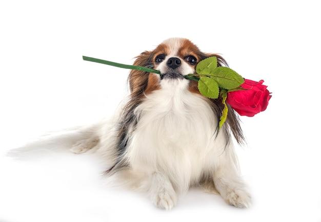 Папийон собака