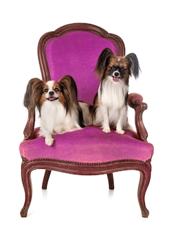 Papillon dogs on armchair