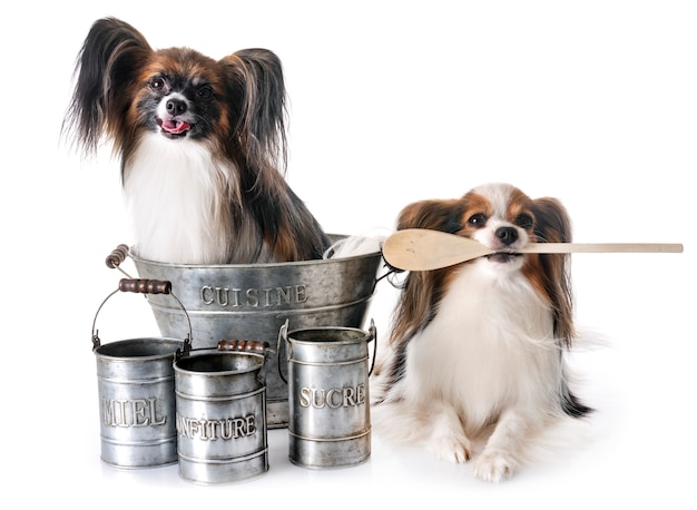 Papillon dogs cooking