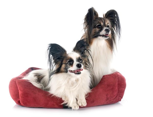 Собаки papillon на белом фоне