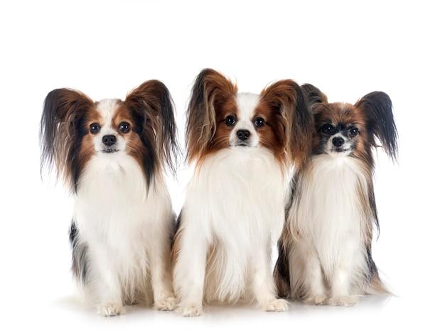 Папийон собаки перед белой поверхностью