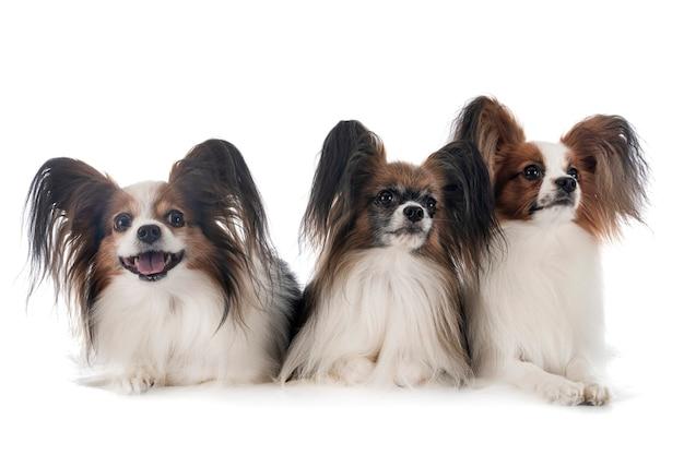 Папийон собаки, изолированные на белом фоне