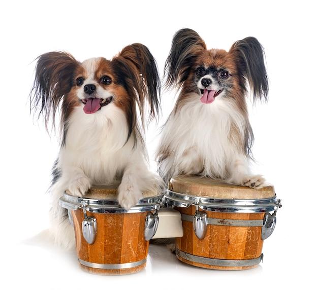 Собаки папийона на белом фоне