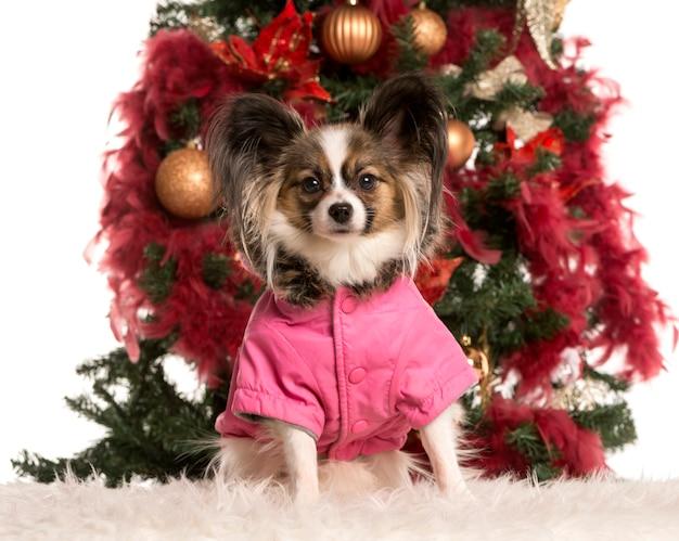クリスマスツリーの前に座ってカメラを見ているパピヨン